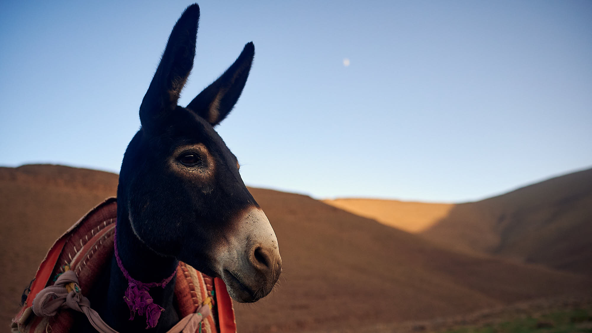 Donkey in Morocco's High Atlas mountain ridge